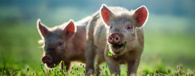 Fria grisar är glada grisar